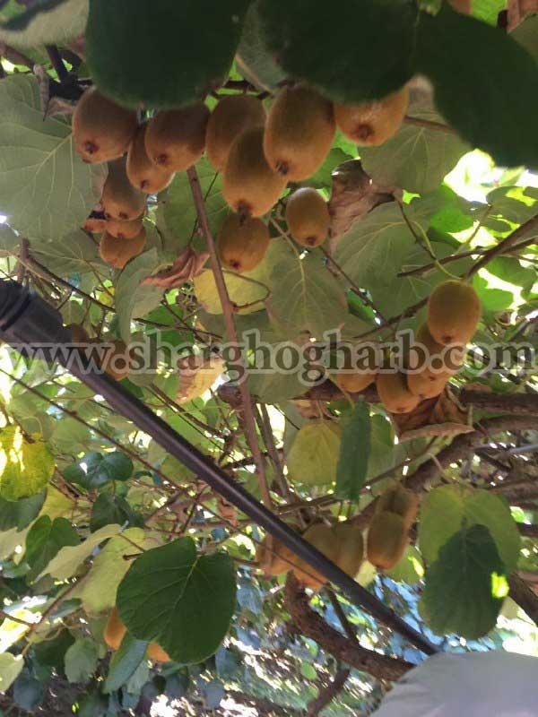 فروش محصول کیوی شمال ایران